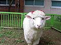 实拍当绵羊爱上梅花鹿 动物有情终成眷属