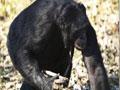 实拍大猩猩受训练后自己生火煮饭