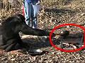 黑猩猩崛起模仿人类点火做饭自力更生