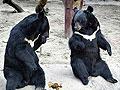 狗熊表演耍大牌趴在杆顶闹罢工