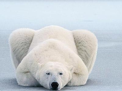 俄罗斯功夫熊玩耍棍棒有模有样