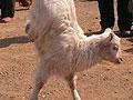 河南残疾羊用两条前腿直立行走不输猪坚强