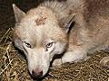 专家鉴定称山东枣庄捕获野狼确实为哈士奇