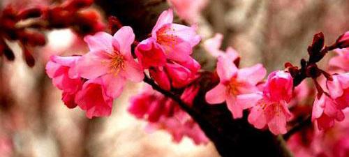 日本赏樱最佳地点
