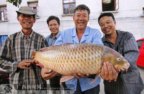 13.75公斤重的大鲤鱼身长约一米