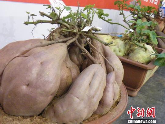"""图为种植在花盆里的""""盆景红薯"""" 周小云 摄"""
