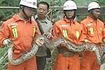 实拍巨蟒吞食土鸡 消防队员现场抓蛇