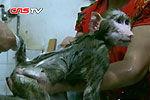 狒狒出生三天被遗弃 认人作母不愿回园
