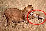 母狮捕食母羚羊后收养其幼子
