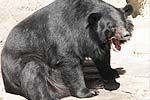 实拍男子遭黑熊追赶 村民开拖拉机救人