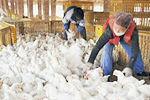 央视曝光速生鸡养殖 吃激素药40天长5斤