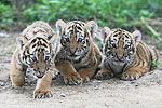 吉林保护区发现罕见野生东北虎带三只幼崽
