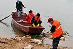 实拍南昌赣江进行死猪打捞 至少达140余头