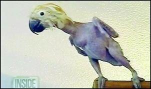 鹦鹉因抑郁啄光毛