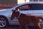 厦门一女子大桥上开车遛马被拘5天