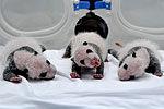 实拍熊猫三胞胎成长变化 100天长到六千克
