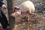 2岁男童被母猪咬死 猪体内现孩子头骨