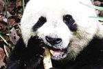 陕西首次观察到秦岭大熊猫啃食羚牛腿骨