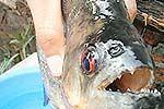 食人鱼伤人政府悬赏捕鱼 被咬市民述经过