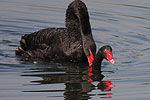 动物园拍到罕见黑天鹅交配令人大开眼界