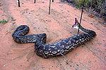 探秘婆罗洲食人猛兽 凶残致命网纹蟒
