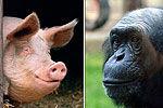 美国专家称人类是公猪与母猩猩杂交产物