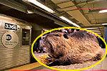 实拍纽约地铁硕鼠乱窜乘客尖叫跳上座椅