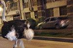 用生命表演的动物们 进击鸵鸟暴力绵羊