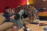 老虎被养成宠物温顺黏人 网友戏称萌猫