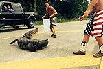 美国醉酒青年徒手拉拽挡路鳄鱼被反咬