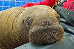 首只德国出生小海象海洋馆呆萌亮相