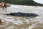 实拍广东海陵岛3.2米鲸被台风吹上沙滩