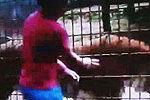 巴西男孩喂老虎被咬掉手 称我要死了