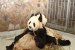 奶爸抱熊猫小团子狼狈摔倒