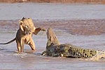 实拍肯尼亚3只狮子为夺食围攻鳄鱼