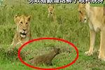 实拍小猫鼬咆哮逼退狮群围攻 顺利脱身