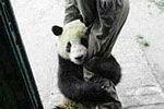 实拍小熊猫紧抱奶妈大腿 卖萌黏人