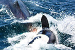 实拍三条虎鲸围攻吞食鲨鱼 场面震撼