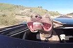 卖萌狗坐车将头伸出天窗吹风致面瘫