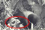 红外相机首记录野生大熊猫幼仔憨态可掬