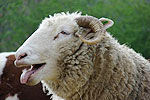 """农场绵羊误食大麻 集体傻笑""""嗨""""翻了"""