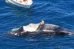 澳洲男子作死爬鲸鱼尸体 捕食鲨鱼群围