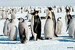 实拍机器企鹅打入帝企鹅内部 画面激萌