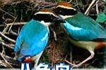 韩国拍摄到濒危八色鸟繁殖过程