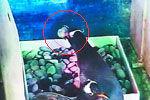 监控拍下出生未满1天企鹅宝宝被生父吞食