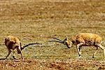 摄影师蹲守1月抓拍到藏羚羊交配珍贵画面