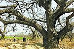 古树扎堆驻马店村庄 树龄均在300岁以上