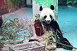熊猫锦意死因确切