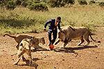 实拍动物管理员与三狮踢足球激烈争抢