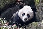 3岁熊猫疑遭黄喉貂攻击 腹部受伤肠管外漏